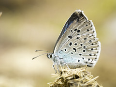 P7010020 (turbok) Tags: insekten schmetterlinge tiere c kurt krimberger