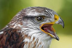 Falcon (MAICN) Tags: raubvogel falke wildlife 2018 vogel bird animal greifvogel tier nature raptor natur falcon