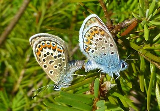 Silver-studded Blues, Hampshire, UK