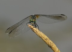 Blue Dasher (Eric C. Reuter) Tags: nature wildlife ny catskills peaseddyroad july 2018 070418 insects odes dragonflies odonata butterflies butterfly lake cabin somersetlake golfcourseroad pond damselflies