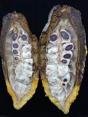 Cacao (Theobroma cacao): Black pod rot (Plant pests and diseases) Tags: cacao theobroma pod black rot phytophthora palmivora