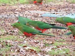 Alisterus scapularis 2 (barryaceae) Tags: gloucester nsw australia ausbird ausbirds king parrot alisterus scapularis psittaculidae