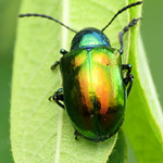 Dogbane Leaf Beetle thumbnail