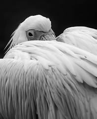 _XT16689.jpg (uwe_b_aus_r) Tags: pelikan wasservogel tierpark zoo natur