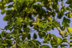 20180708-0I7A7696 (siddharthx) Tags: 7dmkii bird birdwatching birding birdsinthewild bishanangmokiopark canon canon7dmkii ef100400f4556isii ef100400mmf4556lisiiusm nature singapore singaporeparks trek urbanbirds urbangreens sunbird sg olivebackedsunbird yellowbelliedsunbird