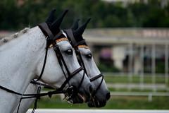DSC_5498 (emina.knezevic) Tags: harness equestrian equestrianphotography equestrianphotographer equestrianphotographers horseportrait ridinghorses bridles whitehorses duo tandem horsebackriding