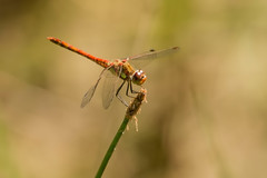 (_jypictures) Tags: animalphotography animals animal animalplanet canon canon7d canonphotography wildlife wildlifephotography wiltshire naturephotography nature photography pictures dragonfly dragonflyphotography darter commondarter ruddydarter macro macrophotography insect insectphotography