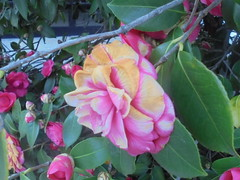 1285 (en-ri) Tags: fiore flower rosa sony sonysti bush cespuglio verde foglie leaves