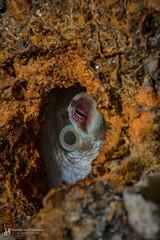 Catch me if you can! (hk.underwater) Tags: usa underwater octopodidae blueheronbridge animals seacreatures octopi orange florida diving scubadiving tauchen unitedstatesofamerica