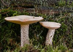 Suillus placidus (Crazy Mushroom) Tags: elfenbeinröhrling suillusplacidus bern schweiz switzerland pilz mushroom fungi fungus champginon nature wald forest makro macro panasoniclumixdmcg81 dmcg81 g81 g80 g85 olympus60mm 60mm dff dof stacking focusbracketing elfenbein röhrling suillus placidus krauchthal burgerwald