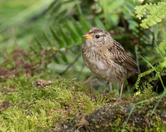 Juvenile White-crowned Sparrow (dennis_plank_nature_photography) Tags: avianphotography thurstoncounty whitecrownedsparrow birdphotography naturephotography juvenile wa avian birds blind copse home littlerock nature