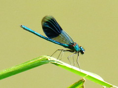 banded demoiselle (47604) Tags: banded demoiselle insect damselfly blue wing reed