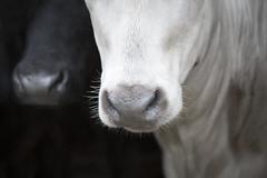Noses (JulieMorrish) Tags: cows noses nose blackwhite devon photographer portrait animals