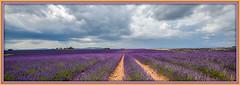 L'or bleu ! (watbled05) Tags: lavande champs ciel couleurs nuages sillons terre ocre extérieur paysage panoramique tableau hautesprovence valensole
