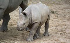 one ear forward one ear back - Cleveland Zoo (Tim Evanson) Tags: clevelandzoo clevelandmetroparks clevelandmetroparkszoo clevelandohio zoo dicerosbicornismichaeli easternblackrhino rhino blackrhino