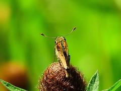 Skipper type butterfly (wanderview) Tags: butterfly skipper