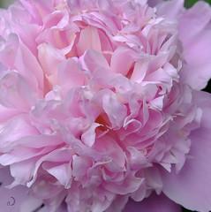 Antman hiding ... (bd168) Tags: pivoine peony fleurrose flowerpink closeup macro grosplan fourmis ant summer été xt10 xf50mmf2rwr