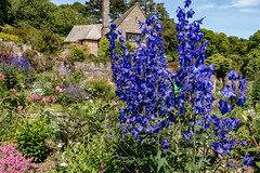 Blue Delphiniums at Coleton Fishacre (Keith in Exeter) Tags: blue delphinium flower nationaltrust coletonfishacre garden kingswear devon landscape tree plant house england english
