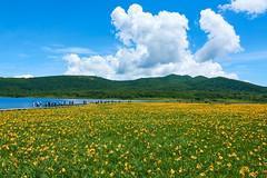 summer clouds (peaceful-jp-scenery (busy)) Tags: daylily oguninuma wetland kitashiobaramura urabandai ゼンテイカ ニッコウキスゲ 群生 裏磐梯 雄国沼 北塩原村 福島 日本 sony cybershot carlzeiss dscrx10m3 24600mmf2440