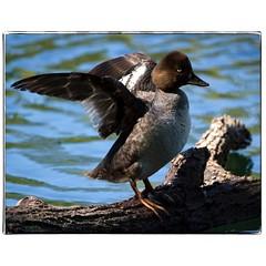 Sleepy Goldeneye stretching. #photography #photooftheday #photoadaychallenge #canon7d #sigma150600 #bird #duck #commongoldeneye #nature #opcmag #project365 #yyc #calgary (PSKornak) Tags: photography photooftheday photoadaychallenge canon7d sigma150600 bird duck commongoldeneye nature opcmag project365 yyc calgary