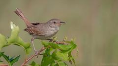 House Wren (Troglodytes aedon) (ER Post) Tags: bird housewrentroglodytesaedon wren fennville michigan unitedstates us