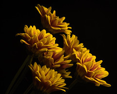 In Synch 1022 (Tjerger) Tags: nature flower flowers blooms blooming plant natural flora floral blackbackground portrait beautiful beauty black orange fall wisconsin macro closeup yellow red group bunch mums blooom insynch mum