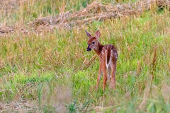 07102018-306-1 (Bill Friggle Photography) Tags: whitetail fawn young baby babies fawns field corn wildlife refuge
