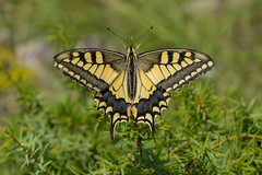 Papilio machaon (keynowski) Tags: papiliomachaon kırlangıçkuyruk nature ngc animalplanet animal wild wildlife butterfly 60mmf28macro olmypus60mmmf28macro olympusmzuikodigitaled60mmf28macro olympusomdem1 em1