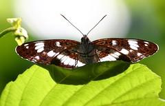 White Admiral -Limenitis camilla - Brownsea Island Dorset (11) (ailognom2005) Tags: whiteadmiral limenitiscamilla brownseaisland dorset butterflies butterfliesmothsandcaterpillars dorsetwildlife