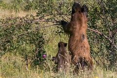 I can't reach mom (RoxMontana) Tags: 7dwf cub bear