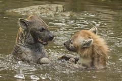 Gevlekte hyena - Safaripark Beekse Bergen (Jan de Neijs Photography) Tags: dierentuin zoo tamron tamron150600 150600 dierenpark nl holland thenetherlands dieniederlande utrecht diergaarde g2 animal dier beeksebergen safaripark safariparkbeeksebergen hilvarenbeek sbb gevlektehyena hyena