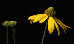 Rudbeckia And Her Little Sisters (AnyMotion) Tags: cutleafconeflower schlitzblättrigersonnenhut rudbeckialaciniata blossom blüte buds knospen onblack 2018 floral flowers botanischergarten frankfurt plants pflanzen anymotion colours colors farben yellow gelb 7d2 canoneos7dmarkii summer sommer été verano zomer estate ngc npc