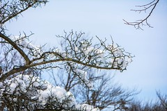 Snowy Branches (LauraJSwindle) Tags: snow winter2016 snowy longisland ny newyork eastcoast trees foliage branch cold nature weather plants nikond7100 85mm tackapaushanaturepreserve liny wantaghfairfield nyca usa