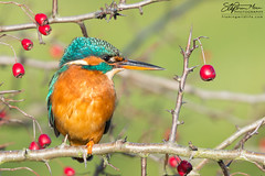 Female Kingfisher 1 (One Macey) Tags: kingfisher stephenmace stephenmacephotography framingwildlife nikond5200 nikon sigma150600 bird