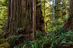 Coast Redwood Discovery 2014 (mdvadenoforegon2) Tags: coast redwood redwoods boyes creek sequoia sempervirens tree trees forest