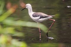 CAVALIERE D' ITALIA (Ezio Donati is ) Tags: uccelli birds animali animals natura nature italia macro parcodelticino areaprovinciadipavia