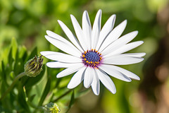 White Osteospermum Daisy With Purple Center (Merrillie) Tags: flowers nature australia macro purple flower newsouthwales daisy uminabeach nsw wildflower wild scenery flora umina coastal gardens greenery outdoors floral centralcoast petals white osteospermum