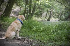 IMG_5129 (BernaPhotography) Tags: labradorretriever lab labrador dog pet yellow river nature serbia