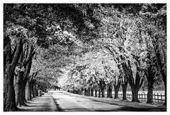 _DSC7099-Mr (gillesporlier) Tags: path chemin bnw bw nb noiretblanc blackandwhite nikon trees tree d750 arbres light lumiere shade ombre fence cloture serie