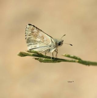Piquitos clara - Carcharodus lavatherae . Es un hespérido por tanto mariposa diurna de la familia Hesperiidae.