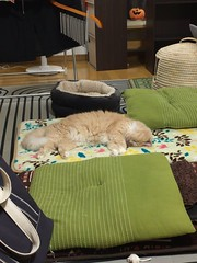 Norio's New Spot (sjrankin) Tags: toymouse cattoy japan hokkaido kitahiroshima moving clutter sleep mat livingroom floor norio cat animal edited 2july2018