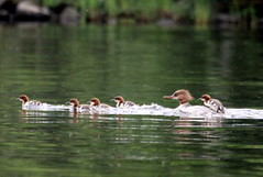 """""""hair on the tube"""" and one """"free rider"""" (irio.jyske) Tags: goosander animal bird swim lake river boats water colors hurry fast speed nature naturephoto naturepic naturescape naturephotograph naturepictures naturepics natural naturephotographer naturephotos landscape landscapephotograph lanscape landscapepic landscapephotos landscapephotographer landscapes landscapepics lakescape photographer photograph nice"""