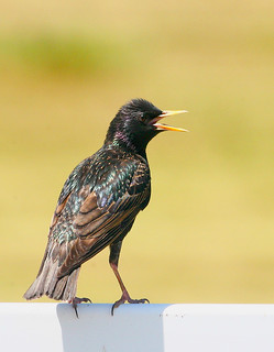 starling-43a