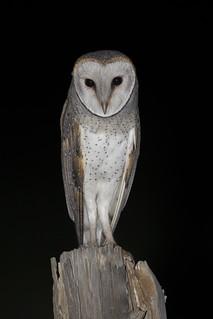 Eastern Barn Owl - Tyto javanica