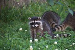 Raccoon family enjoying cherries (aroubin) Tags: raccoon raccoons wildlife babyanimals
