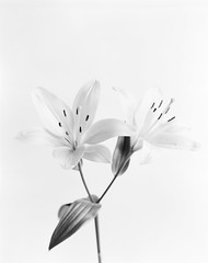 Blomster nr. 2 (Hans Bugge) Tags: foma100 bw large format 4x5 plants macro film