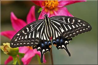 Chinese xuthus swallowtail