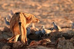 IMG_2402 (Cat Early) Tags: kalahari kruger southafrica jackal nature wildlife