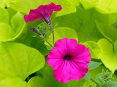 Un peu de fraicheur dans la chaleur de l'été... A Little Freshness In The Summer Heat ... P1030819 ( RêveOcéanOceanDream) Tags: fleur flower flor pétunia rose pink petuniarose manine rêveocéanoceandream nantes naoned bretagne brittany britana pdl france europe