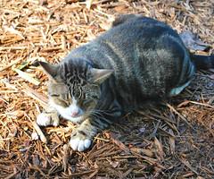 Key West (Florida) Trip 2017 0434Ri 5x6 (edgarandron - Busy!) Tags: cat cats kitty kitties cute feline florida keys floridakeys keywest hemingwayhome